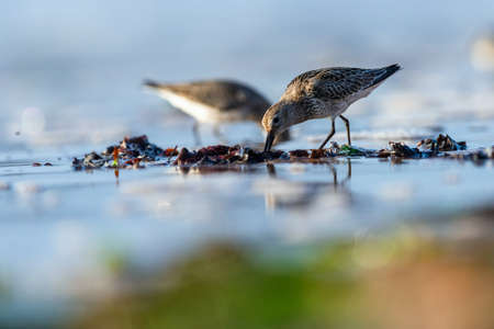 Dunlin Calidris alpina in environment. Banque d'images