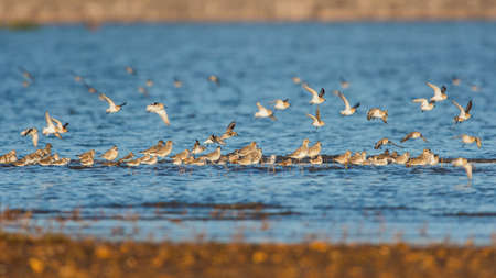 Gray Plovers and Dunlins in environment