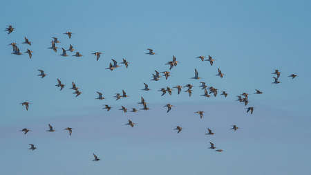 Black-tailed Godwit, Limosa limosa in the flight in environment Banque d'images