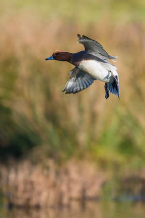 Eurasian Wigeon (Mareca penelope) male in flight Banque d'images