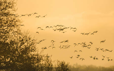 Brent Geese in flight in the Sunrise, Brent Goose (Branta bernicla) in Devon in England, Europe Banque d'images