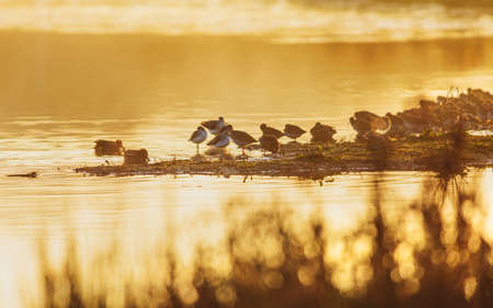 Common Greenshank and Common Redshank in the sunrise on Golden Hour time.