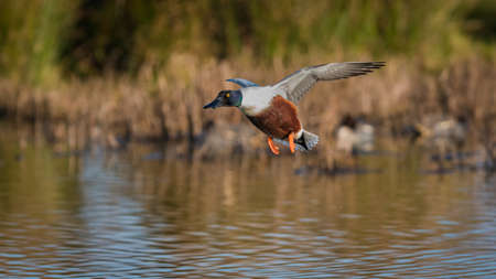 Northern Shoveler, Shoveler, Anas clypeata male in flight in Devon in England, Europe