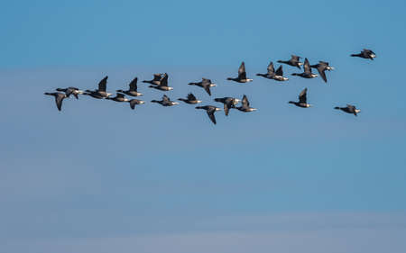 Brent Geese in flight, Brent Goose (Branta bernicla) in Devon in England, Europe