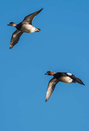 Eurasian Wigeon (Mareca penelope) birds in flight in sky