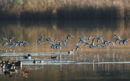 Common Redshank, Redshank, Tringa totanus - birds in the flight in the sunrise Banque d'images
