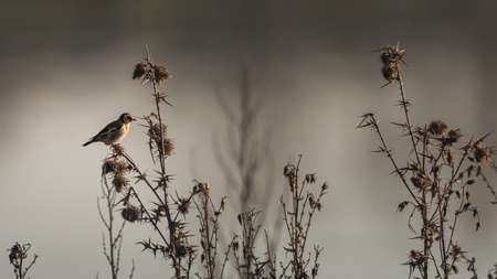 Birds in Minimalism - European Goldfinch, Carduelis carduelis