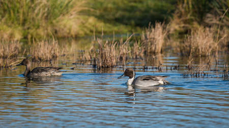 Northern Pintail, Anas acuta pair of birds in environment