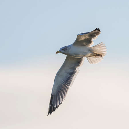 Herring Gull, European Herring Gull, Larus argentatus in the flight on the sky Banque d'images