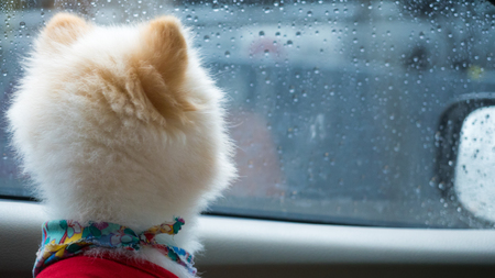 pomeranian white dogs  look at the rain through the glass. Foto de archivo