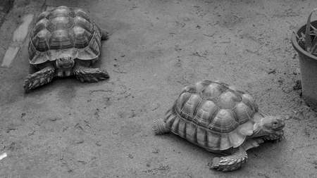 Two turtles walking on the sand color black and white
