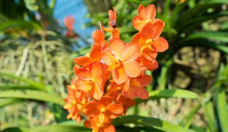 orchid flower  orange close up