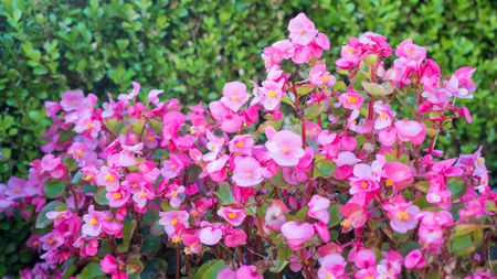 flower pink background nature in japan
