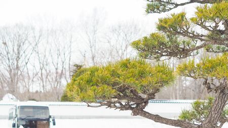 A Pine in japan background snow