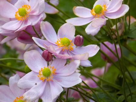 Anemone Flowers - lilac Stok Fotoğraf