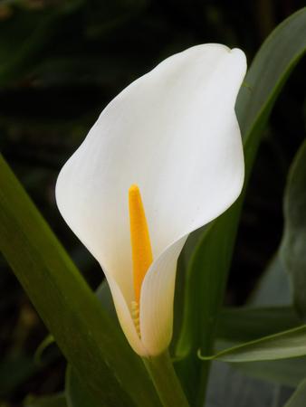 arum: Arum Lily