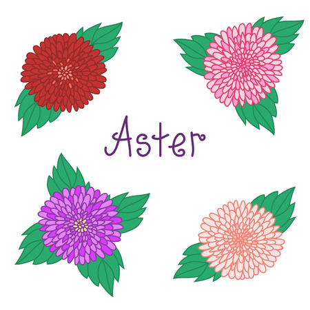 aster: Cute aster set, colorful flowers collection, red, pink, white and violet daisy, vector illustration