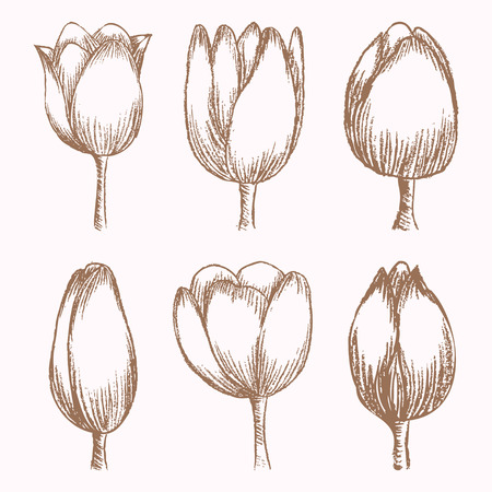 Hand drawn tulips at different stages of growth, bud and blossomed flower, cute doodling flowers sketch, vector illustration Illustration