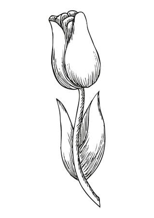 flower petals: Hand drawn tulip, cute doodling flower sketch, vector illustration