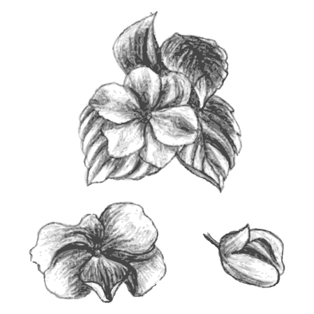 Hand drawn balsams at different stages of growth, impatiens walleriana, bud and blossomed flower with leafs, cute flowers sketch, vector illustration Illustration