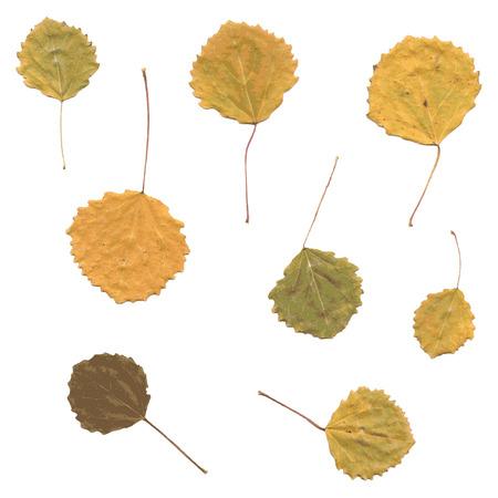 fallen leaves: Autumn birch or Betula, aspen or Populus tremula leaves, set from fallen leaves Illustration