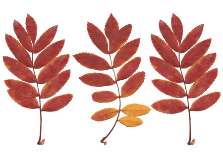 Real autumn rowan leaves, set from 3 red-yellow branches, Sorbus aucuparia, vector illustration