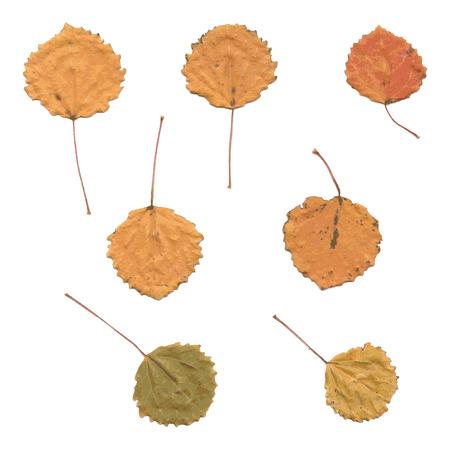 aspen: Autumn birch or Betula, aspen or Populus tremula leaves, set from fallen leaves, vector illustration