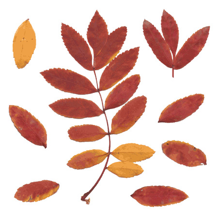 Real autumn rowan leaves, set from red-yellow branch and small leafs, Sorbus aucuparia, vector illustration 일러스트