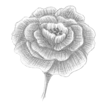 blossomed: Hand drawn portulaca, blossomed flower, vector illustration