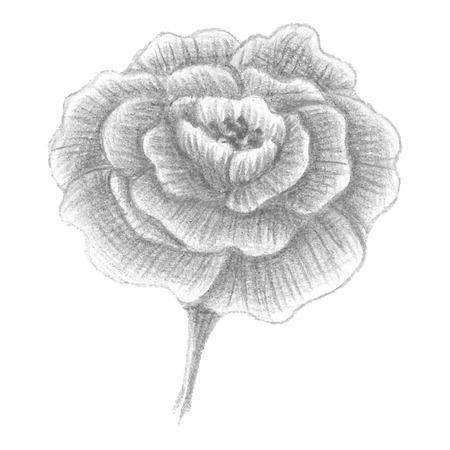 Hand gezeichnet portulaca erblühte Blume, Vektor-Illustration Vektorgrafik