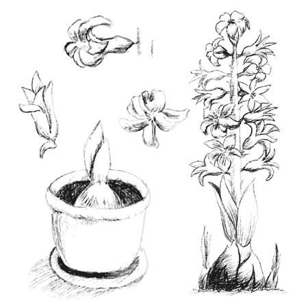 Sketch of blossoming hyacinth, hand drawing with pencil, growth stages, bulb grows in pot, flowers on stalk and separately. Vector illustration Illusztráció