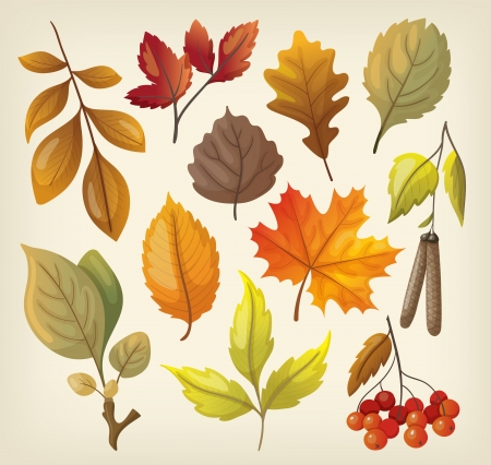 rowan: Set of colorful isolated autumn leaves