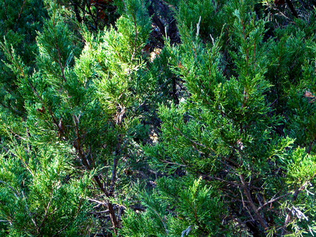 Eastern Red Cedar is an Evergreen Tree that grows clumps of dense thickets that turn a bronze-reddish color in the winter Фото со стока