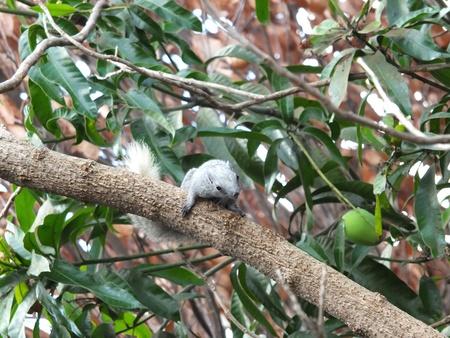 Thai squirrel on tree