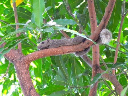 Thai squirrel hug the mango tree Stock Photo