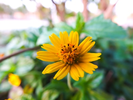 The yellow cosmos