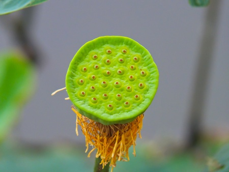 lotus pod in the swamp  photo