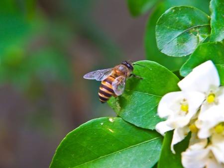 Bee on white flower Stock Photo - 12770034