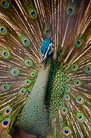 Colorful peacock Stock Photo - 13072070