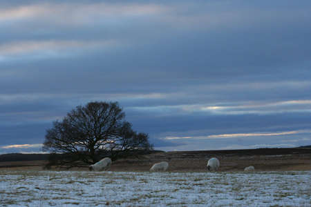 punctuate: A lone bare tree and some sheep punctuate a bleak winter landscape on Kippen Muir, Scotland