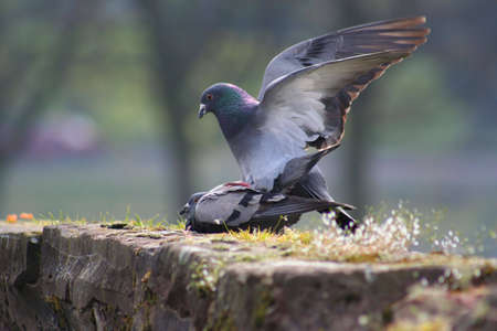 copulate: Two pigeons mating in the springtime