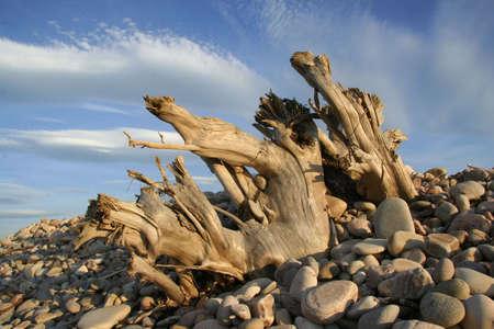 shingle beach: Tree stumps on a shingle beach lit by the late evening sun