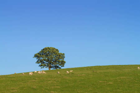 Lonely tree in field with sheep against clear sky Stock Photo - 11057524