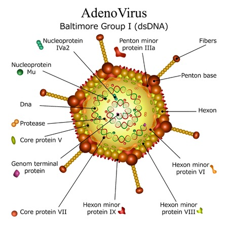 Colourfull diagram of Adeno virus particle structure with annotations on white background Illustration