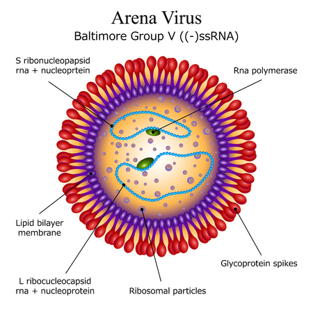 Diagram of Arena virus particle structure on white background Illustration