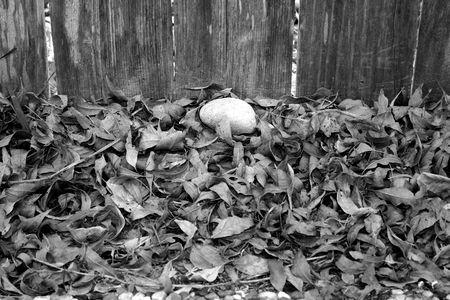 barnwood: Leaves against wooden fence Stock Photo