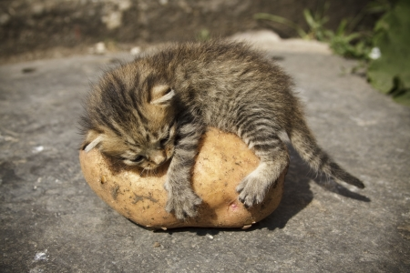 kitten lying on top of the potatoes photo