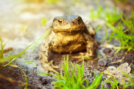 Brown frog in the grass, in the sun Stock Photo - 17922505
