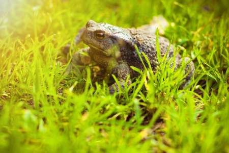 Brown frog in the grass, in the sun, side view Stock Photo