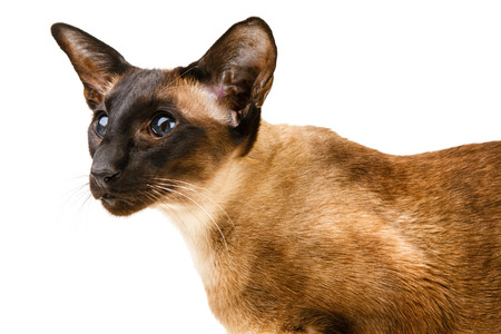 Oriental brown cat on a white background Stock Photo